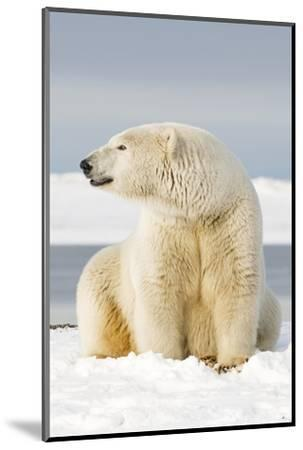 Polar Bear Sits Along Barrier Island, Bernard Spit, ANWR, Alaska, USA-Steve Kazlowski-Mounted Photographic Print