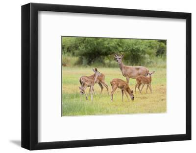 White-Tailed Deer (Odocoileus Virginianus) Doe with Fawns, Texas, USA-Larry Ditto-Framed Photographic Print
