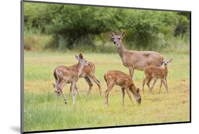 White-Tailed Deer (Odocoileus Virginianus) Doe with Fawns, Texas, USA-Larry Ditto-Mounted Photographic Print