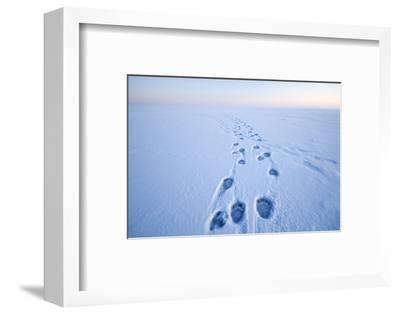 Polar Bear Footprints in the Snow, Bernard Spit, ANWR, Alaska, USA-Steve Kazlowski-Framed Photographic Print