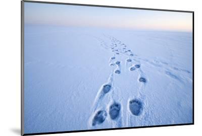 Polar Bear Footprints in the Snow, Bernard Spit, ANWR, Alaska, USA-Steve Kazlowski-Mounted Photographic Print