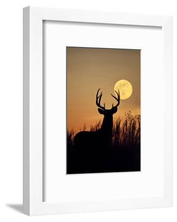 White-Tailed Deer (Odocoileus Virginianus) at Harvest Moon, Texas, USA-Larry Ditto-Framed Photographic Print