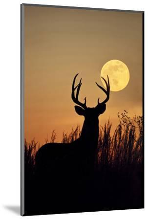 White-Tailed Deer (Odocoileus Virginianus) at Harvest Moon, Texas, USA-Larry Ditto-Mounted Photographic Print