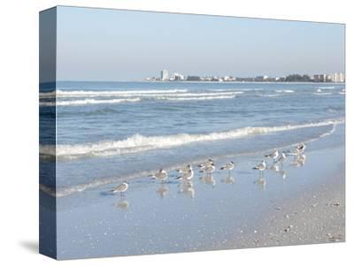 Laughing Gulls Along Crescent Beach, Sarasota, Florida, USA-Bernard Friel-Stretched Canvas Print
