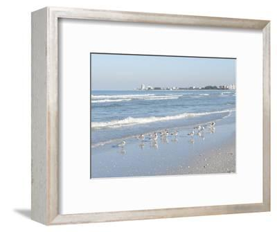 Laughing Gulls Along Crescent Beach, Sarasota, Florida, USA-Bernard Friel-Framed Photographic Print