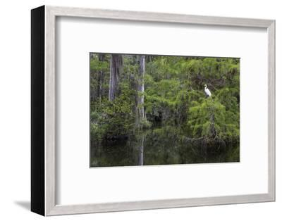 Great Egret in Everglades National Park, Florida, USA-Chuck Haney-Framed Photographic Print