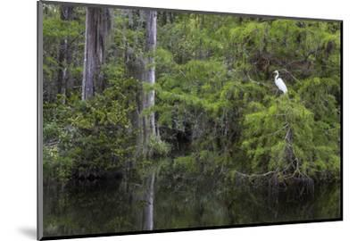 Great Egret in Everglades National Park, Florida, USA-Chuck Haney-Mounted Photographic Print