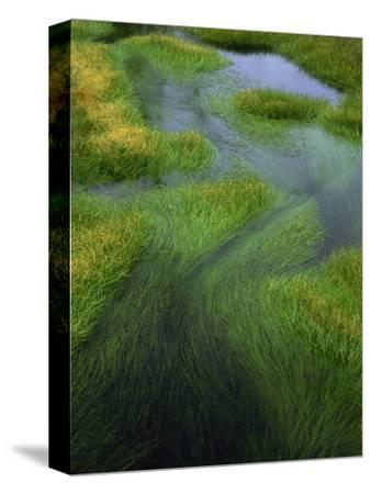 Spring Grasses in Calm Stream, Yellowstone National Park, Wyoming, USA-Jerry Ginsberg-Stretched Canvas Print