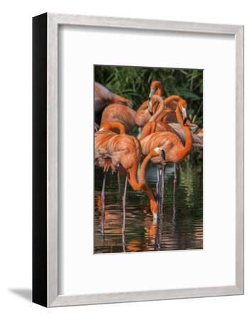 USA, Florida, Orlando. Pink Flamingos at Gatorland.-Jim Engelbrecht-Framed Photographic Print