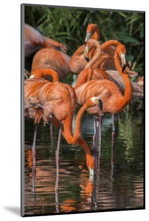 USA, Florida, Orlando. Pink Flamingos at Gatorland.-Jim Engelbrecht-Mounted Photographic Print