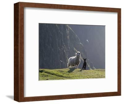 Shetland Sheep, a hardy breed of the Northern Isles in Scotland.-Martin Zwick-Framed Photographic Print