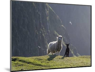 Shetland Sheep, a hardy breed of the Northern Isles in Scotland.-Martin Zwick-Mounted Photographic Print