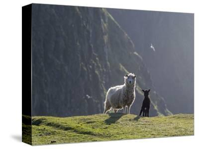 Shetland Sheep, a hardy breed of the Northern Isles in Scotland.-Martin Zwick-Stretched Canvas Print
