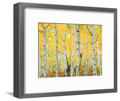 USA, Colorado, Rocky Mountains, Fall Colors of Aspen Trees-Jaynes Gallery-Framed Photographic Print