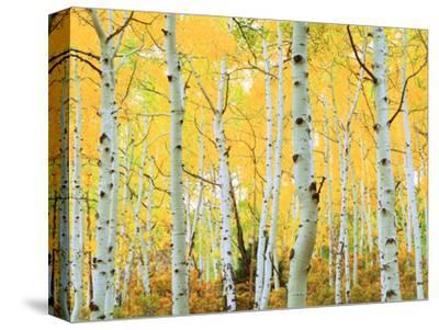 USA, Colorado, Rocky Mountains, Fall Colors of Aspen Trees-Jaynes Gallery-Stretched Canvas Print