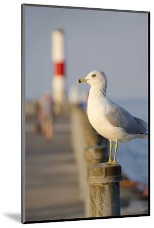 Seagull at the Lake Ontario Pier, Rochester, New York, USA-Cindy Miller Hopkins-Mounted Photographic Print