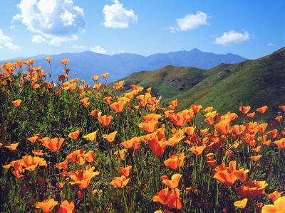 USA, California, Lake Elsinore. California Poppies Cover a Hillside-Jaynes Gallery-Photographic Print