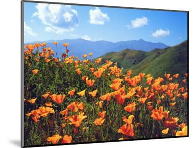 USA, California, Lake Elsinore. California Poppies Cover a Hillside-Jaynes Gallery-Mounted Photographic Print