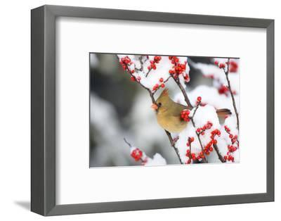 Northern Cardinal in Common Winterberry, Marion, Illinois, Usa-Richard ans Susan Day-Framed Photographic Print