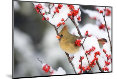 Northern Cardinal in Common Winterberry, Marion, Illinois, Usa-Richard ans Susan Day-Mounted Photographic Print