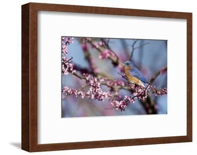 Eastern Bluebird Male in Eastern Redbud, Marion, Illinois, Usa-Richard ans Susan Day-Framed Photographic Print