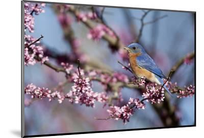 Eastern Bluebird Male in Eastern Redbud, Marion, Illinois, Usa-Richard ans Susan Day-Mounted Photographic Print