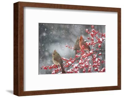 Northern Cardinals in Common Winterberry, Marion, Illinois, Usa-Richard ans Susan Day-Framed Photographic Print