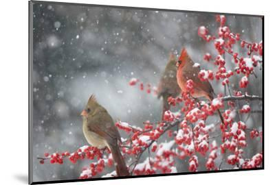 Northern Cardinals in Common Winterberry, Marion, Illinois, Usa-Richard ans Susan Day-Mounted Photographic Print