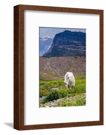 Mountain Goat Feeding , Glacier NP, UNESCO Near Kalispell, Montana-Howie Garber-Framed Photographic Print