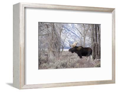 Moose in the Teton Mountains, Grand Teton NP, WYoming-Howie Garber-Framed Photographic Print