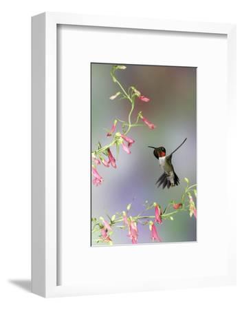 Ruby-Throated Hummingbird at Prairie Fire Penstemon, Illinois, Usa-Richard ans Susan Day-Framed Photographic Print