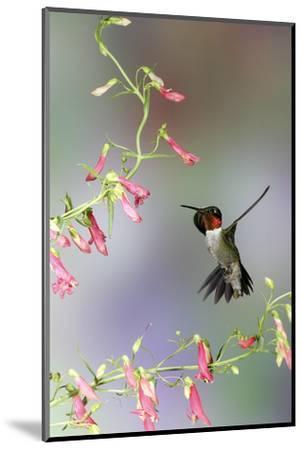 Ruby-Throated Hummingbird at Prairie Fire Penstemon, Illinois, Usa-Richard ans Susan Day-Mounted Photographic Print
