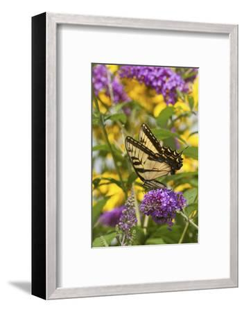 Eastern Tiger Swallowtail Butterfly on Butterfly Bush, Marion Co., Il-Richard ans Susan Day-Framed Photographic Print