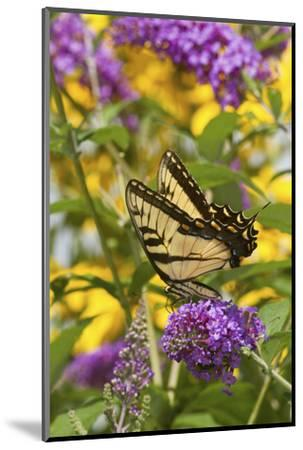 Eastern Tiger Swallowtail Butterfly on Butterfly Bush, Marion Co., Il-Richard ans Susan Day-Mounted Photographic Print