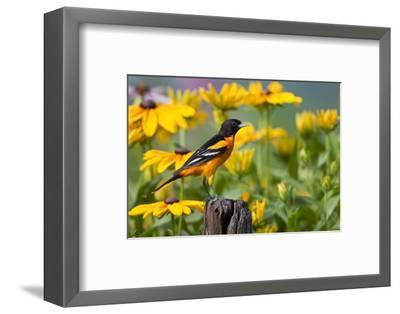 Baltimore Oriole on Post with Black-Eyed Susans, Marion, Illinois, Usa-Richard ans Susan Day-Framed Photographic Print