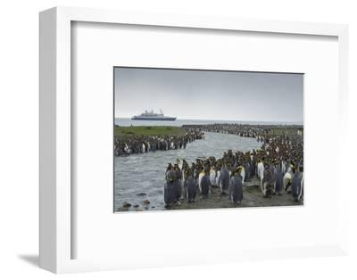 South Georgia. Saint Andrews. Crowd of King Penguins Line a Stream-Inger Hogstrom-Framed Photographic Print