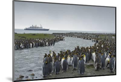 South Georgia. Saint Andrews. Crowd of King Penguins Line a Stream-Inger Hogstrom-Mounted Photographic Print