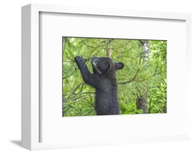 Minnesota, Minnesota Wildlife Connection. Black Bear Cub in a Pine-Rona Schwarz-Framed Photographic Print