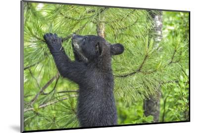 Minnesota, Minnesota Wildlife Connection. Black Bear Cub in a Pine-Rona Schwarz-Mounted Photographic Print