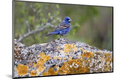 Kinney County, Texas. Black Capped Viroe Foraging in Juniper-Larry Ditto-Mounted Photographic Print