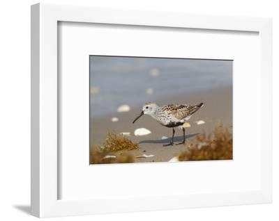 Cameron County, Texas. Dunlin Feeding on Beach During Spring Migration-Larry Ditto-Framed Photographic Print