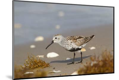 Cameron County, Texas. Dunlin Feeding on Beach During Spring Migration-Larry Ditto-Mounted Photographic Print