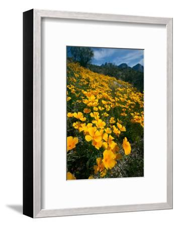 Spring, Mexican Gold Poppies Bloom in Saguaro National Park, Tucson, Arizona-Susan Degginger-Framed Photographic Print