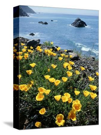 California, Big Sur Coast, Central Coast, California Poppy-Christopher Talbot Frank-Stretched Canvas Print
