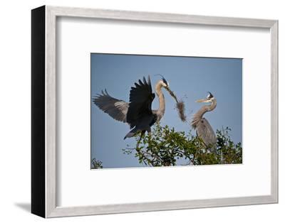 Florida, Venice, Great Blue Heron, Courting Stick Transfer Ceremony-Bernard Friel-Framed Photographic Print
