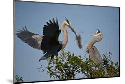 Florida, Venice, Great Blue Heron, Courting Stick Transfer Ceremony-Bernard Friel-Mounted Photographic Print