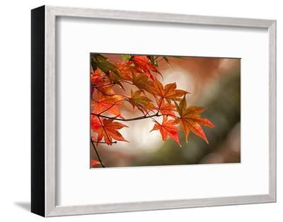 Red Japanese Maple Leaves in Fall-Sheila Haddad-Framed Photographic Print