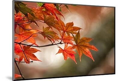 Red Japanese Maple Leaves in Fall-Sheila Haddad-Mounted Photographic Print