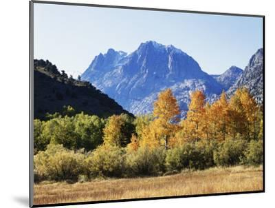 California, Sierra Nevada, Inyo Nf, Fall Colors of Aspen Trees-Christopher Talbot Frank-Mounted Photographic Print