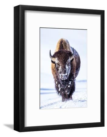Wyoming, Yellowstone National Park, Bull Bison Walking in Hayden Valley-Elizabeth Boehm-Framed Photographic Print